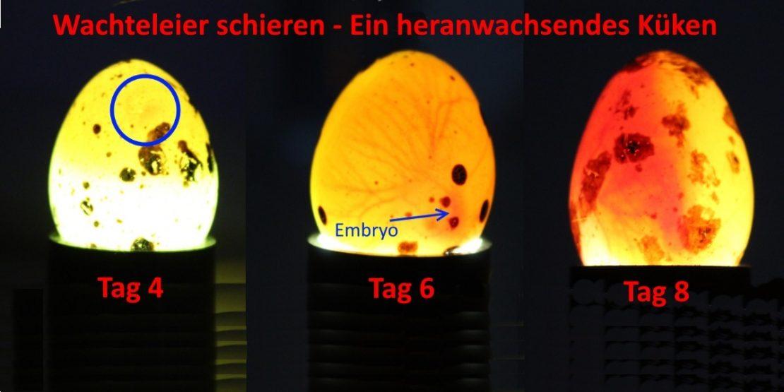 Mit einer Schierlampe befruchtete Eier erkennen