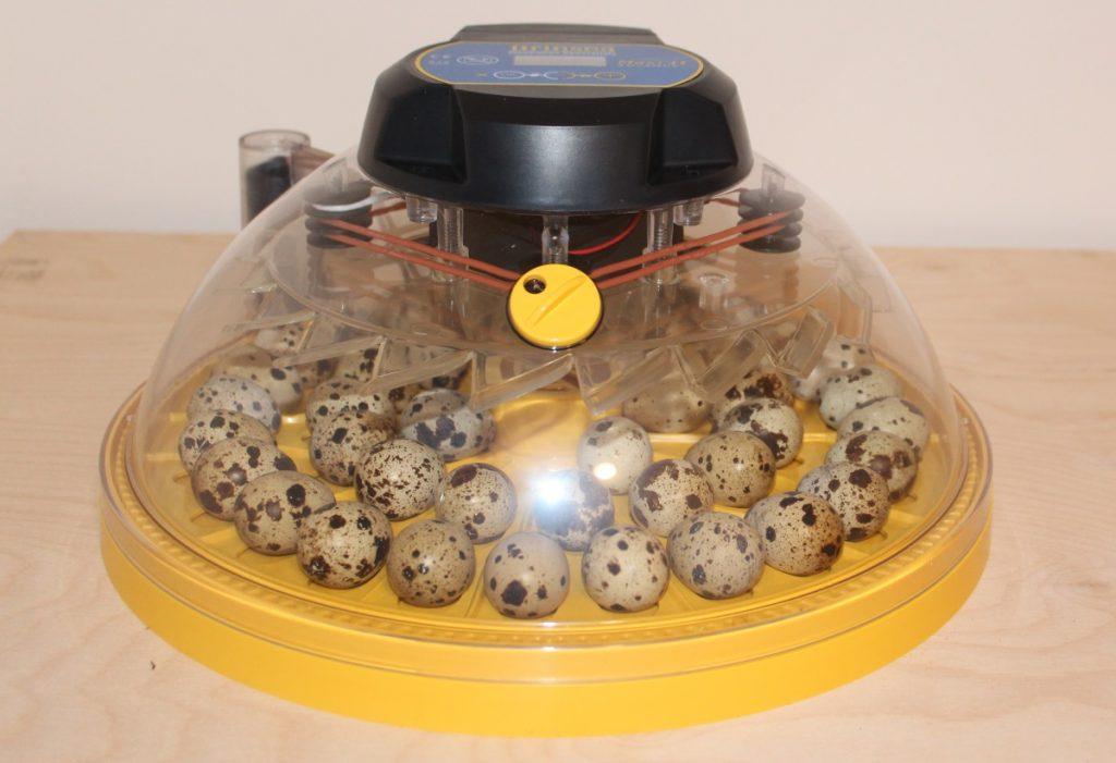 Geschlossene Brutmaschine mit Wachteleiern