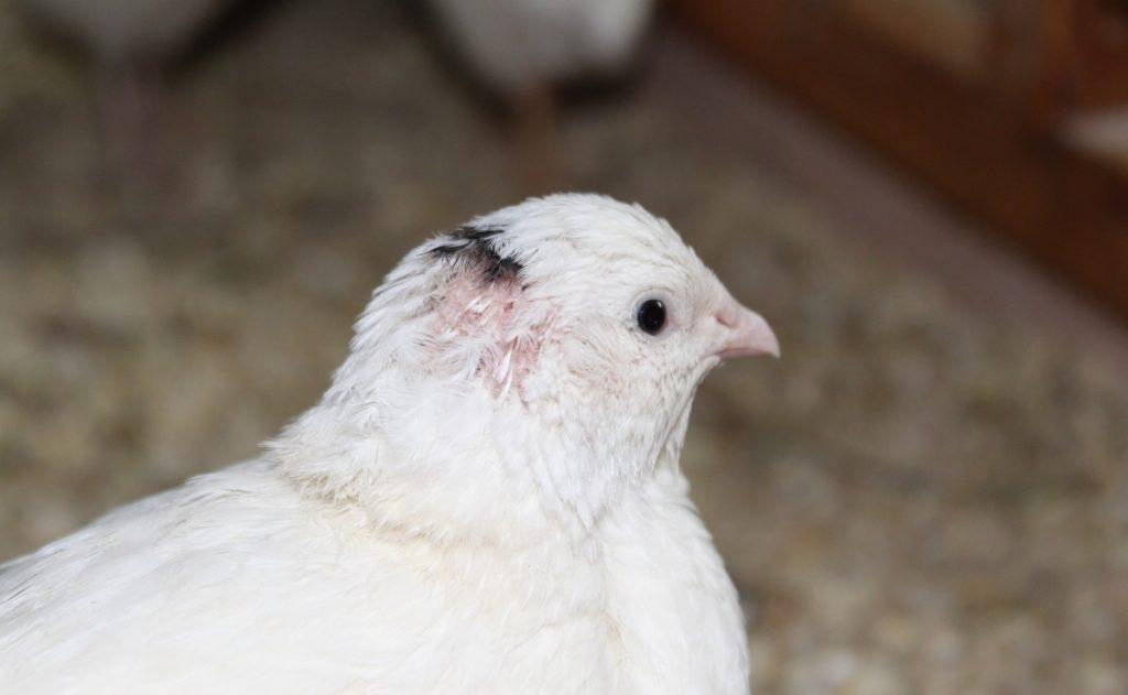 Kahle Stelle am Kopf einer Henne