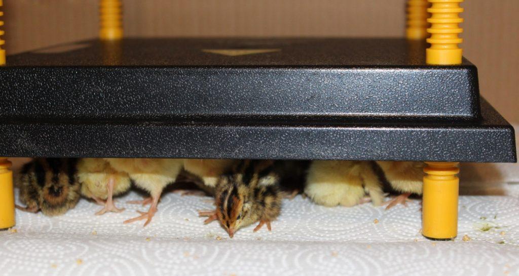 Wachtelküken unter der Wärmeplatte