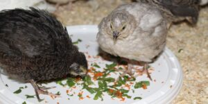 Jungwachteln fressen Frischfutter