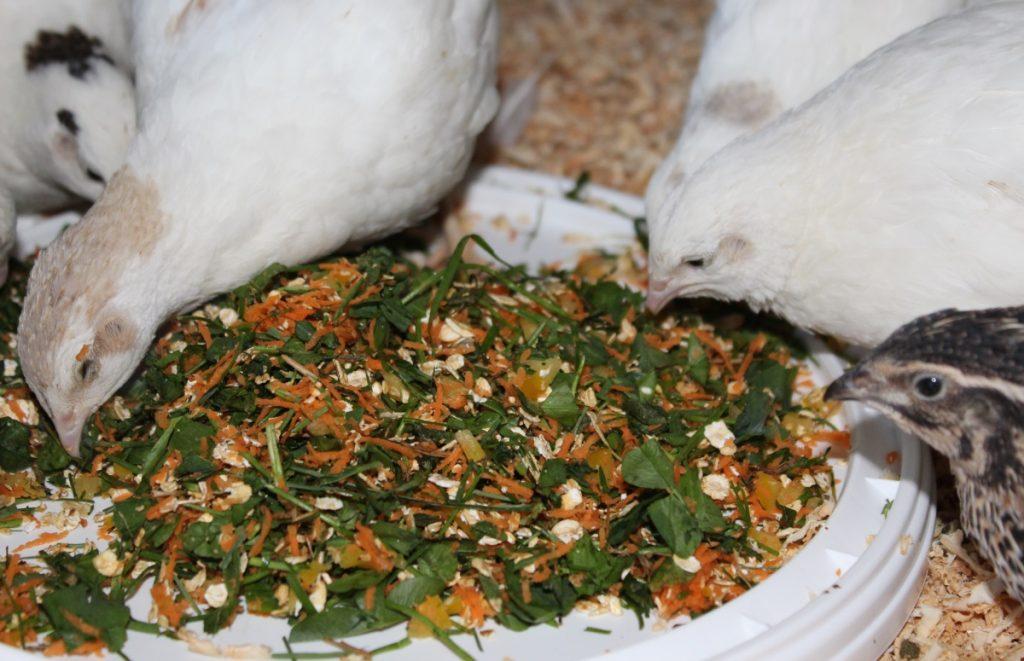 Wachteln fressen Klee, Paprika, Karotte und Haferflocken