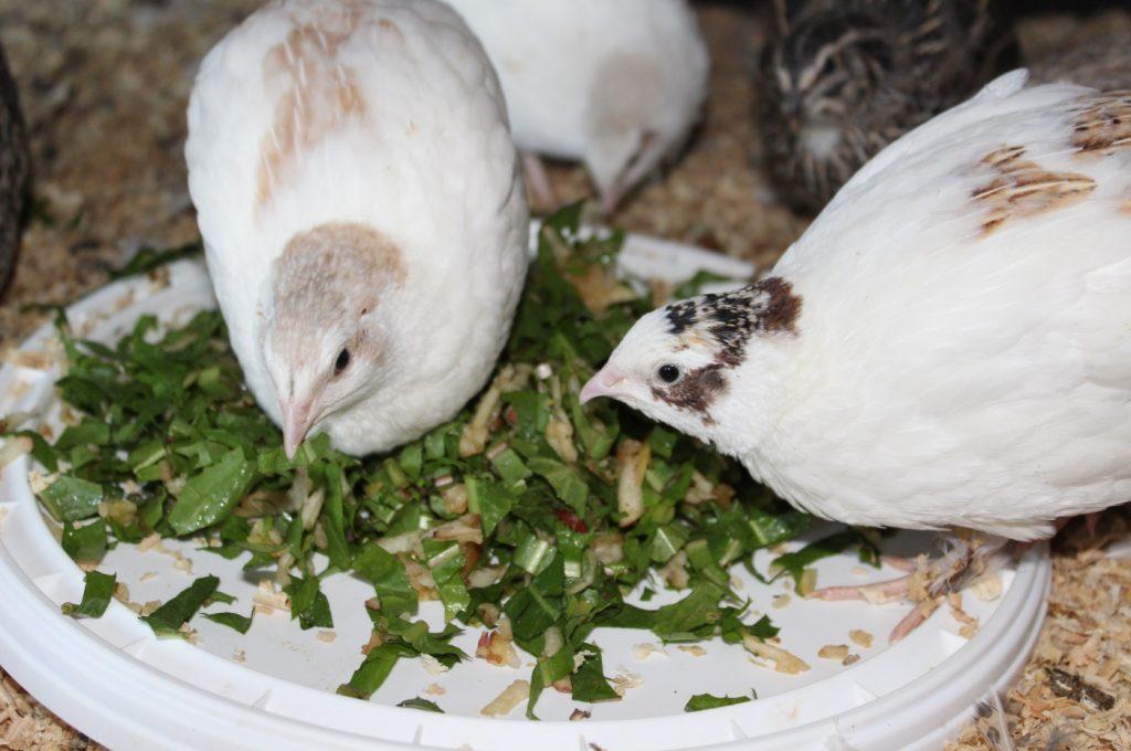 Gräser und Kräuter als Wachtelfutter