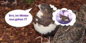 Wachteln im Winter halten